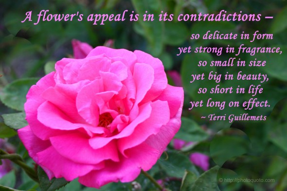 A flower's appeal is in its contradictions - so delicate in form yet strong in fragrance, so small in size yet big in beauty, so short in life yet long on effect. ~ Terri Guillemets