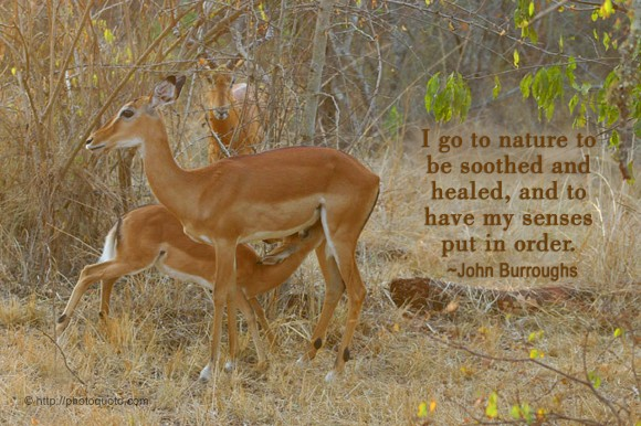 I go to nature to be soothed and healed, and to have my senses put in order. ~ John Burroughs
