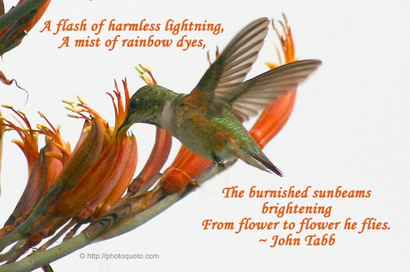 A flash of harmless lightning, A mist of rainbow dyes, The burnished sunbeams brightening From flower to flower he flies. ~ John Tabb