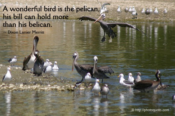A wonderful bird is the pelican, his bill can hold more than his belican. ~ Dixon Lanier Merritt