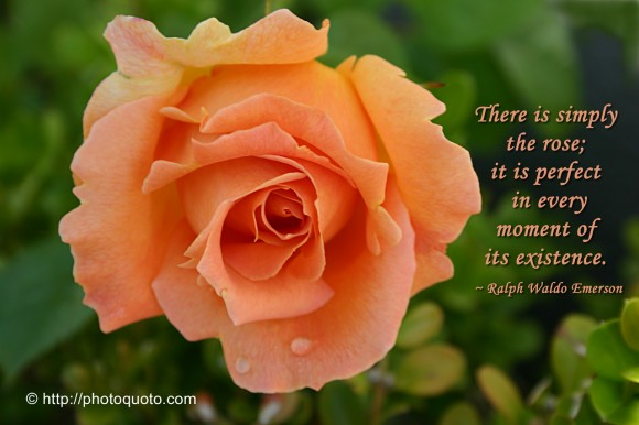 There is simply the rose; it is perfect in every moment of its existence. ~ Ralph Waldo Emerson