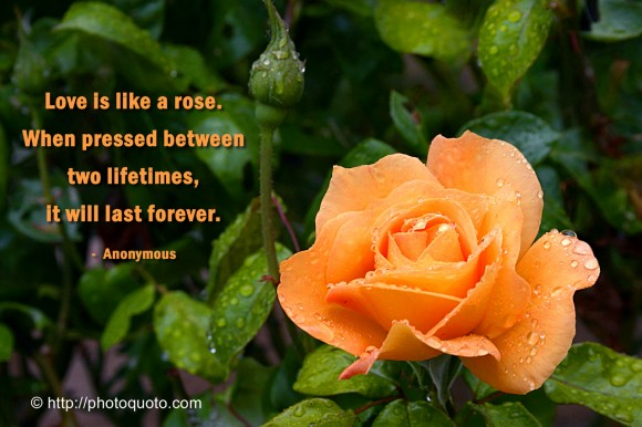 Love is like a rose. When pressed between two lifetimes, it will last forever. ~ Anonymous