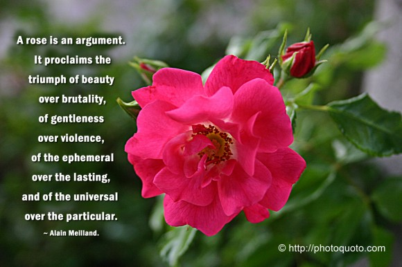 A rose is an argument. It proclaims the triumph of beauty over brutality, of gentleness over violense, of the ephemeral over the lasting, and of the universal over the particular. ~ Alain Meilland.