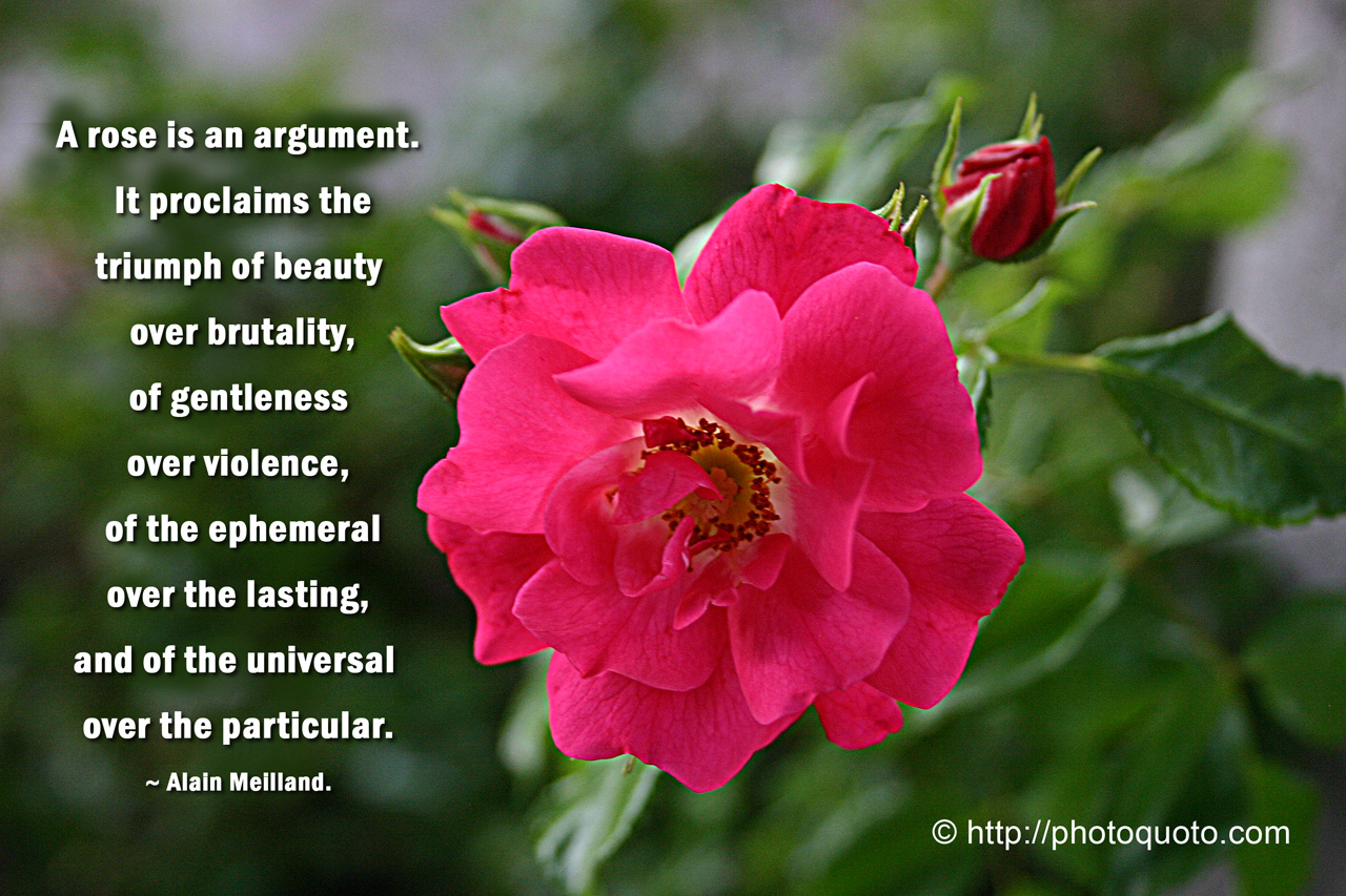 Quotes About Roses Quotesgram
